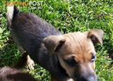 Chihuahua x puppies