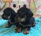 Miniature Dachshund Females & Males available