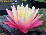 Wanted: WANTED: USE OF A DAM OR POND (WATER LILIES)