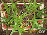 Aloe Vera Plant's Pots - Medicinal Value