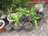 Frangipani White and yellow Pots