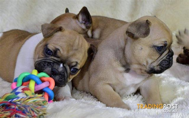 Pearl French Bulldog puppies available
