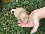 Cavoodle x Maltese Shitzu Puppies For Sale