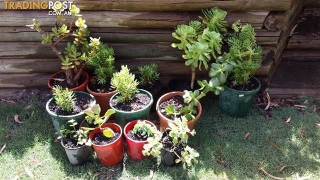 Potted PLANTS Succelents $5 ea
