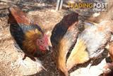 French MARANS MALE CHOOKS Roosters