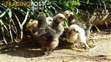 Bantam CHICKS SILKIE CHICKENS 10 ea