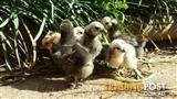 BABY CHICKS BANTAM SILKIE CHICKENS