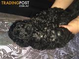 Toy Pure Bred Poodle Puppies