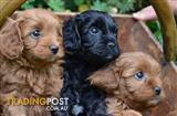 Wanted: Wanted: Cavoodle Puppy