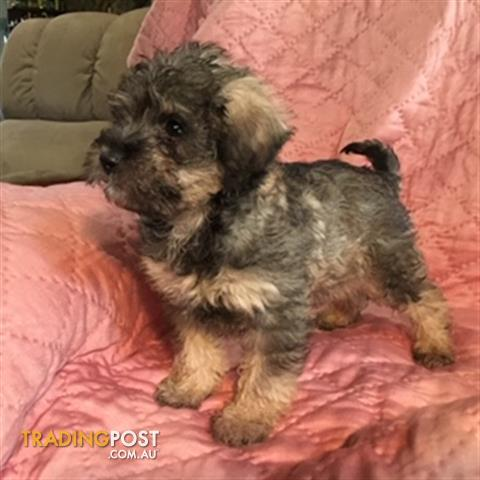 Find schnoodle puppies for sale in VIC, Australia