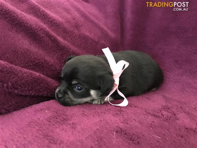 4 magnificent female chihuahua puppies