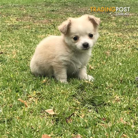 Pure Bred Chihuahua Male & Female Puppies