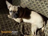 French bulldog, Boston terrier, Frenchton ENJOYS APARTMENT LIFESTYLE