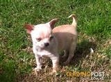 3 Pure Breed Chihuahua's very small pup's.