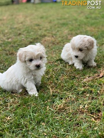Find bichon frise puppies for sale in Australia