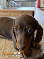 Find puppies for sale in Australia