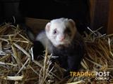 Absolutely Adorable Fuzzy Ferrets Ready for New Homes!