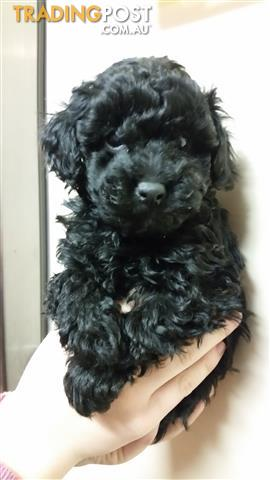 Purebred Toy Poodle Pup ( Last one of litter)
