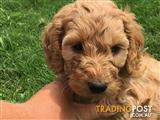 Lovely Spoodle Puppies