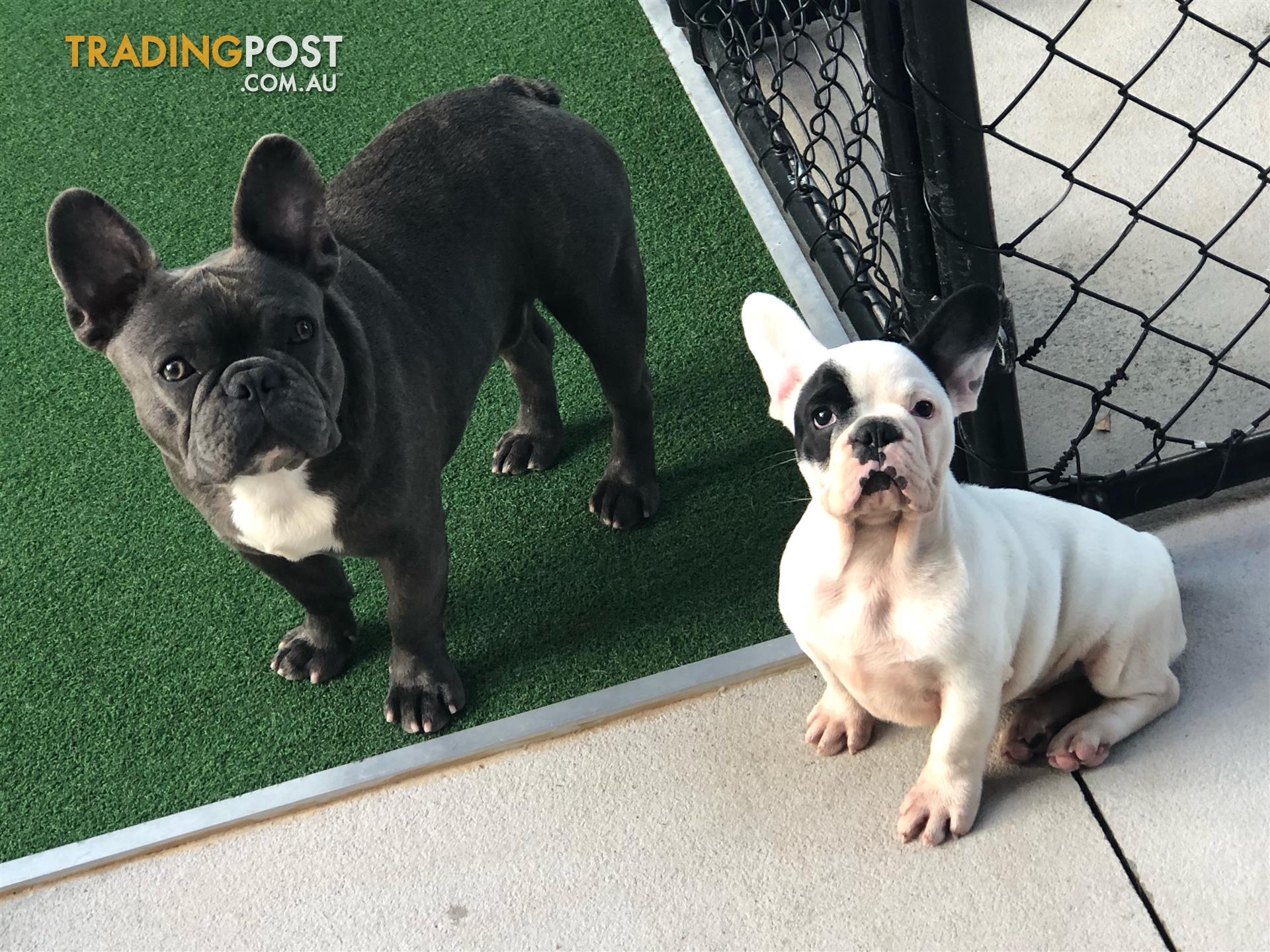 French bulldog pups for sale in oxenford qld french bulldog pups send message solutioingenieria Choice Image