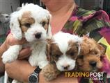 Cavoodle Puppies all Girls