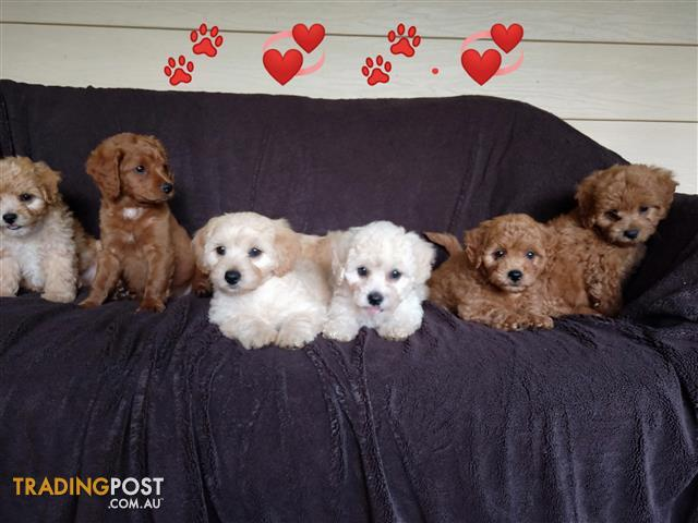 Cavoodle Toy Cavoodle Puppies