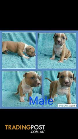 Pure Bred American Staffy Blue & Tan Pups