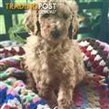 Pure Red Standard Poodles *FREE DELIVERY