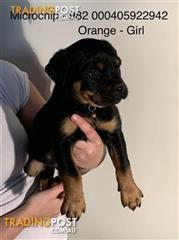 Find Rottweiler puppies for sale in Australia