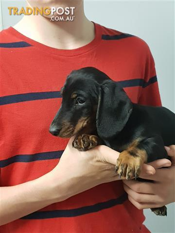 PURE-BRED-MINIATURE-DACHSHUND-PUPPIES-FOR-SALE