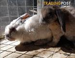 Cholsy - Mini Lop, 0 Years 0 Months 12 Weeks