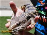 Banana - Lizard - Blue Tongue