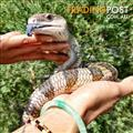 Venus - Lizard - Blue Tongue