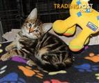 Chiko - Domestic Short Hair, 0 Years 0 Months 8 Weeks (approx)