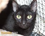 Toothless - Domestic Short Hair, 3 Years 0 Months 1 Week