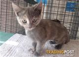 Haley - Domestic Short Hair, 0 Years 0 Months 11 Weeks (approx)