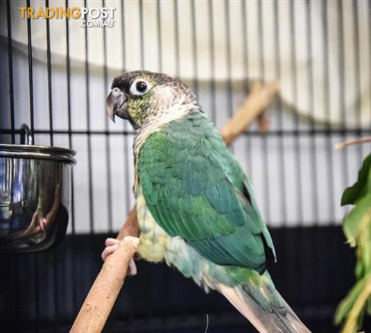 Sweetpea-Conure-Green-Cheek