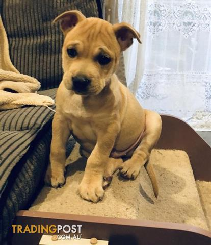 Ozzie American Staffordshire Terrier 0 Years 0 Months 11 Weeks