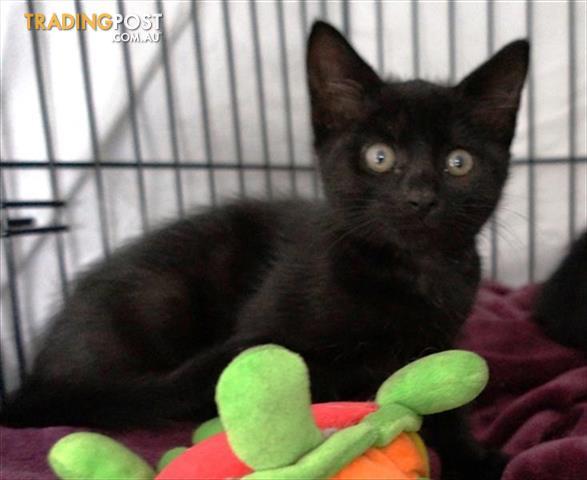 black cat vst