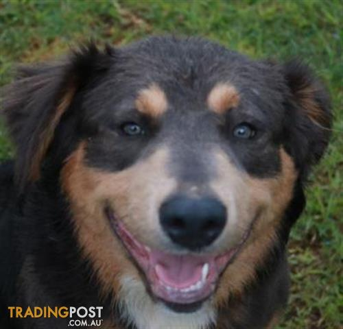 Rollo | Border Collie 0 Years 7 Months 0 Weeks for sale in Warrnambool VIC  | Rollo | Border Collie 0 Years 7 Months 0 Weeks