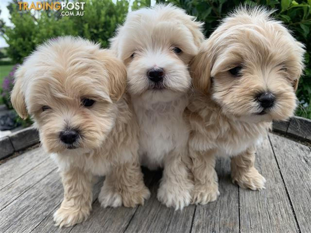 Toy Moodle Pups For Sale