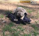 5 x Neapolitan Mastiff x Dogue de Bordeaux (French Mastiff) pups