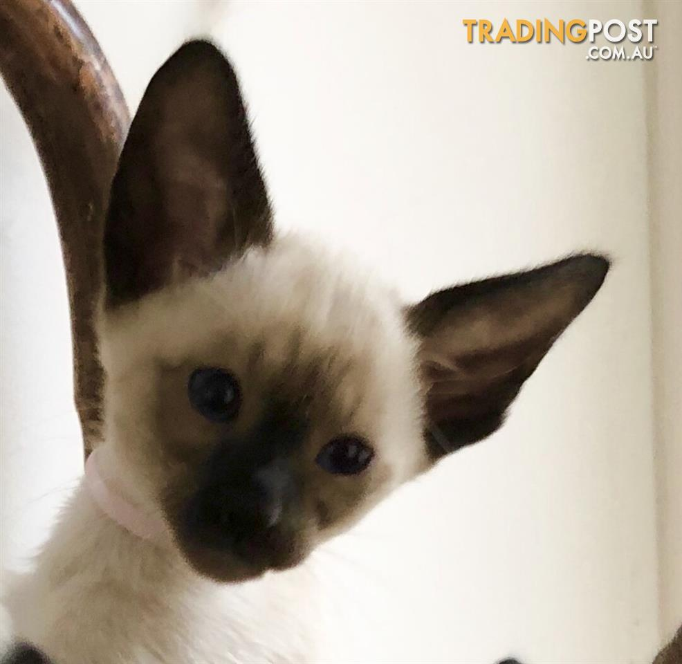 Siamese-Kittens-Traditional-Seal-Point-CFA-registered