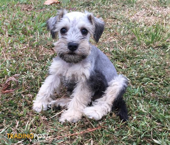 We have 2 beautiful mini schnauzers looking for there new homes