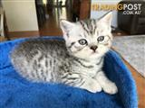 Pedigree British Shorthair Kitten - Male