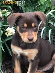 Find Australian Kelpie puppies for sale in Australia