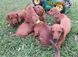 Miniature Dachshund Puppies For Sale!