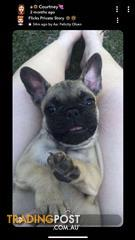 Find French Bulldog Puppies For Sale In Australia