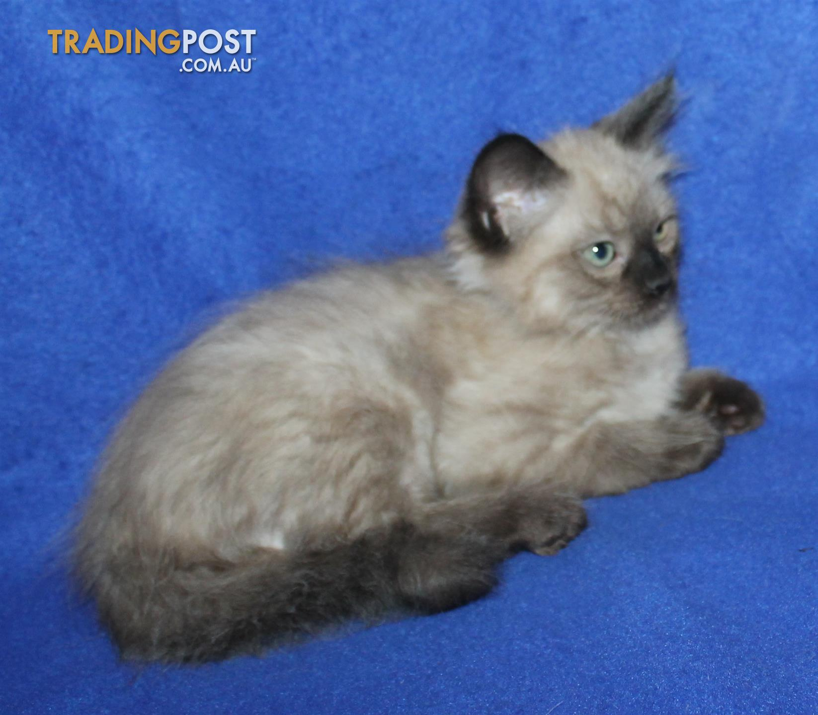 Purebred registered mink Ragdoll kittens for sale in Lithgow NSW ...