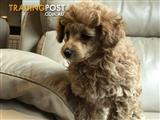 Toy poodle, purebred, girl